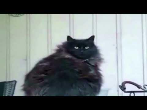 FAT CAT ILLUSION