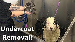 Undercoat Removal Australian Shepherd [CC]