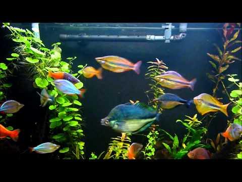 120 Gallon Rainbow Fish Planted Aquarium