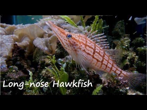 Long-nose Hawkfish - Tropical Reef Fish (4)