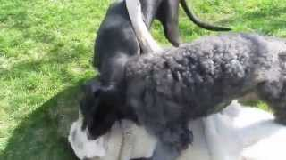 Our Great Dane Puppy And Giant Standard Poodle Attack Anatolian Kangal