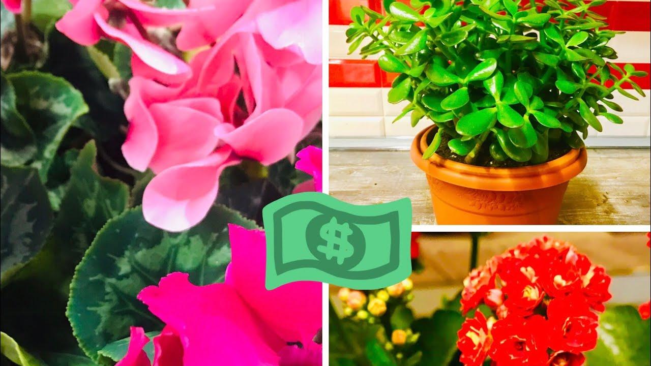 Цветы комнатные для денег удачи