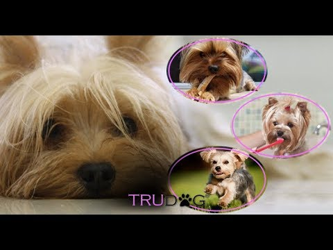 The Ultimate Guide for you Yorkshire Terrier Dog