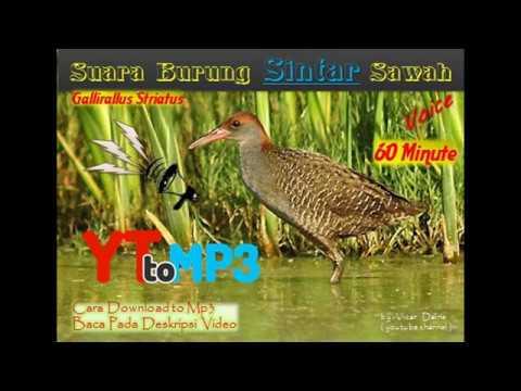 Voice Mp3 Slaty Legged Crake (rallina eurizonoides) 60 minute
