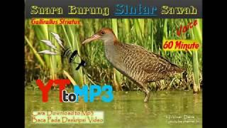 Suara Burung Sintar - Slaty-legged crake (rallina eurizonoides)
