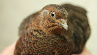 Unboxing the Coturnix 5, raising quail organically. Cordinices de regalo. Caille en cadeau