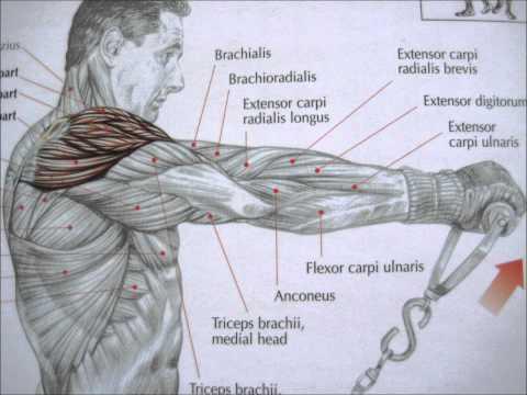bodybuilding deltoid exercises and anatomy