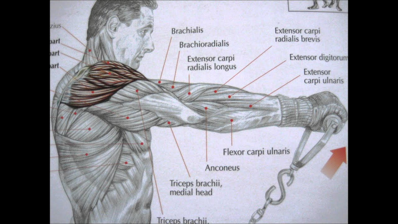 Triceps Brachii Diagram Wiring Dayton Reversible Motor Bodybuilding Deltoid Exercises And Anatomy Youtube