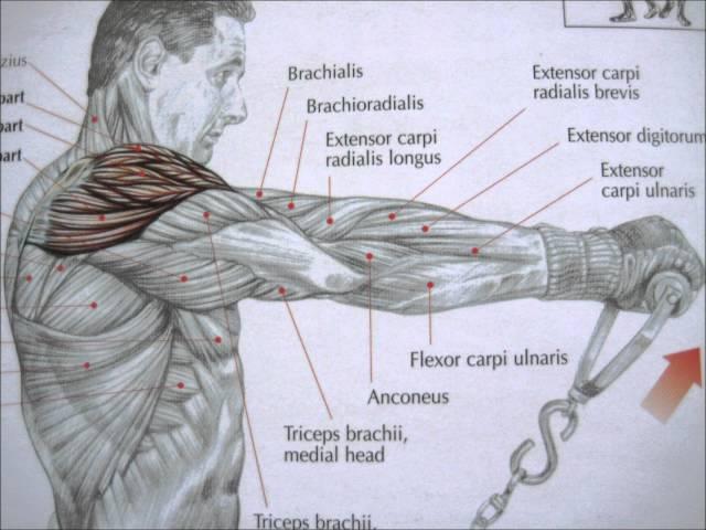 Todo sobre el hombro (V): Músculo deltoides
