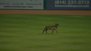 Game delayed by a sheep running onto the field by : minorleaguebaseball