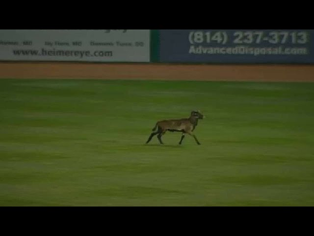Game delayed by a sheep running onto the field