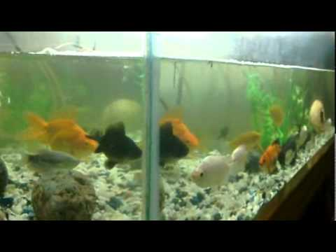 Gold fish aquarium koi carp black more commet tiger succer for Carp in a fish tank