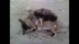 Кот и огромная крыса  .mp4