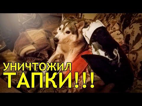 ХАСКИ РУГАЮТ - ХАСКИ НАКАЗАН !!! - НЕ , не слышал ! ;) Husky is called down - Husky is punshed!?