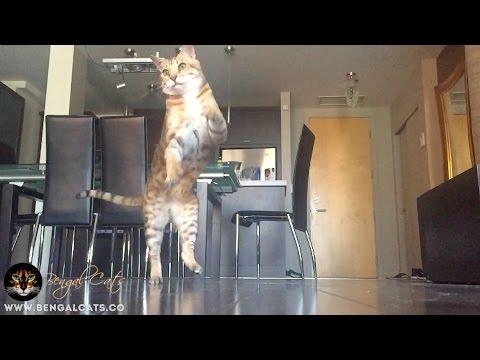 Bengal Cat Chasing Da Bird in Slow Motion