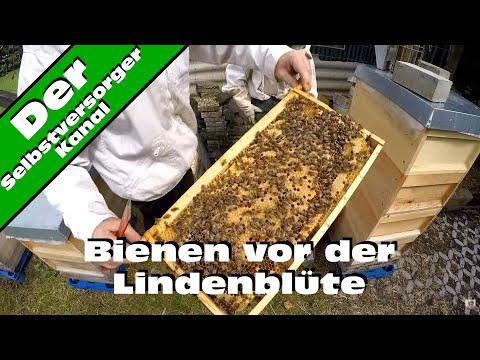 Bienen vor der Lindenblüte