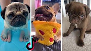 Ultimate Pugs Compilation ~ Cute & Funny Pugs of TikTok