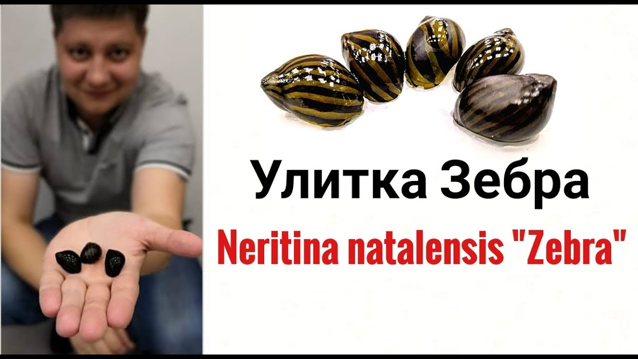 Улитка Зебра .Neritina Zebra.
