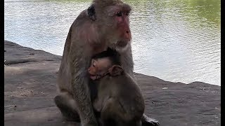 appetite small amara baby monkey sound & screaming for milk from mom monkey coz .... thumbnail