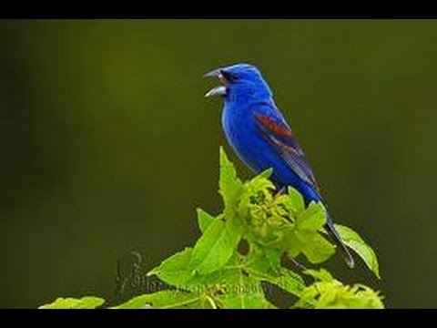Burung Master : Kicauan Merdu Burung Blue Grosbeak (Passerina Caerulea)