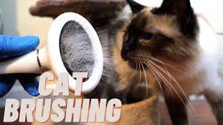 Long Hair Siamese Cat Brushing! So Pretty!