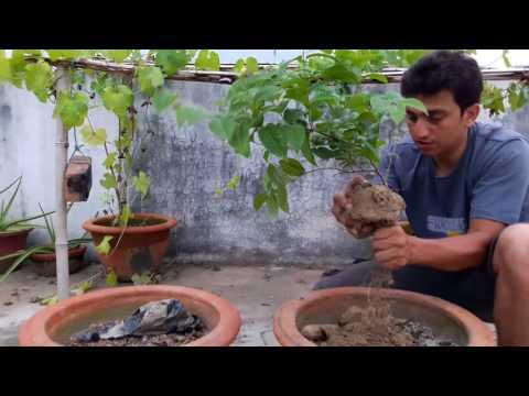 Malti or Chinese honeysuckleorRangoon creeper plant. - Lucknow Gardening