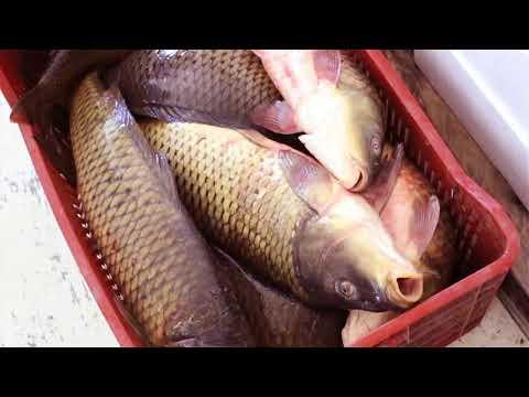 Filiera Corta - Il Pesce Del Lago Trasimeno