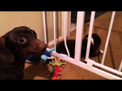 9 Week Old Mini Dachshund Escapes Gate