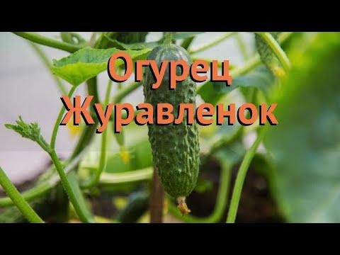 Огурец обыкновенный Журавленок (zhuravlenok) 🌿 обзор: как сажать, семена огурца Журавленок