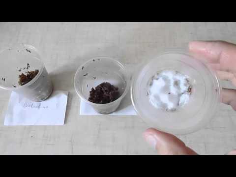 Как посадить шелковицу из семян (1 часть)