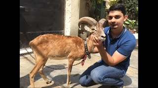 "Pakistan National Animal ""MARKHORE"" in (paracha house) vlog#38"