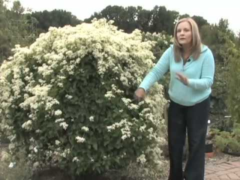 Sweet Autumn Clematis – A Vine for Your Garden