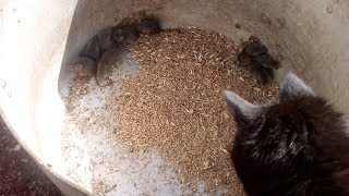 Перепуганные мыши и кошка