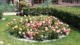 Шикарные клумбы с розами в вашем саду  Как сделать клумбу с розами