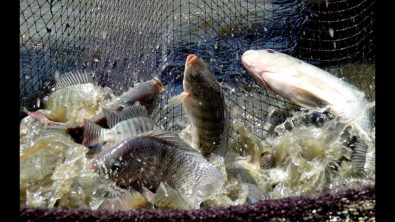 fish farming in india tilapia raising aquaculture youtube
