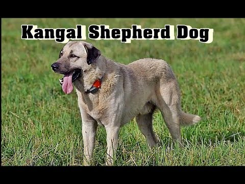 Kangal  Dog | Kangal Shepherd Dog breed |Turkish Kangal | Anatolian Shepherd Dog