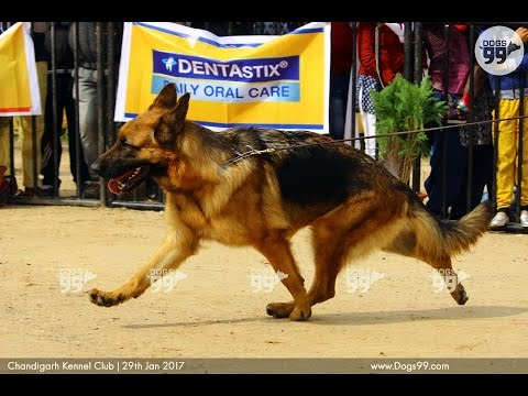 Chandigarh Dog Show | LineUpJudging2 | 29th Jan 2017 | Dogs99.com