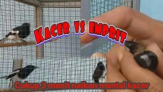 Cara Melatih Mental Kacer hanya dengan Burung Emprit !