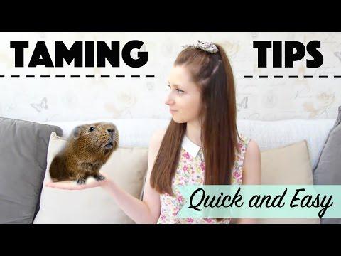 Taming Guinea Pigs *Quick & Easy*