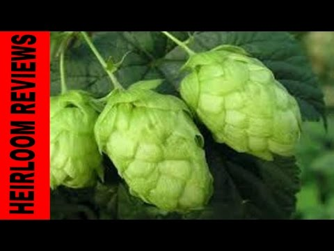 ☮  NUGGET HOPS - a look at the vine ☮