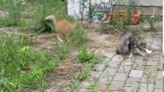 Рыжий котёнок атакует маму Семья котов Несвойственное поведение Кошачья любовь Смешное видео