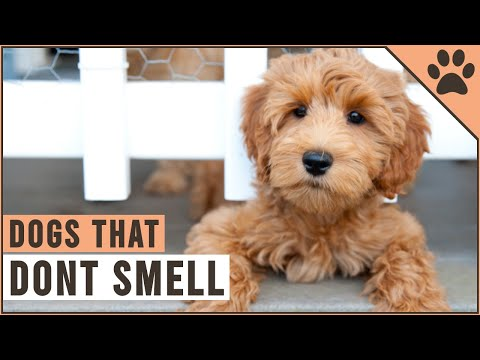 Top 10 Dogs That Dont Smell