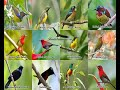 Suara Pikat Ribut Burung Kecil  Sound Of All The Little Birds  Mp3 - Mp4 Download