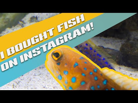 I Bought A Blue Spotted Jawfish On Instagram!
