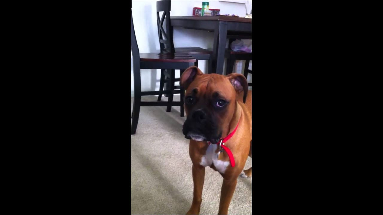 Bauer The Boxer Goes Crazy In Apartment