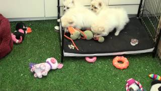 Little Rascals Uk Breeders New Litter Of Cream Pom Spitz Puppies - Puppies For Sale 2015