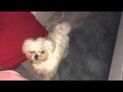 Gute Nacht Ich Will Ins Bett Malteser Hund Malteser Hund Riu Ricci
