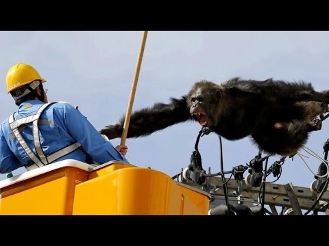 Chimp Wreaks Havoc By Scaling Powerlines After Escaping from Zoo