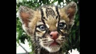 леопардовые кошки.avi