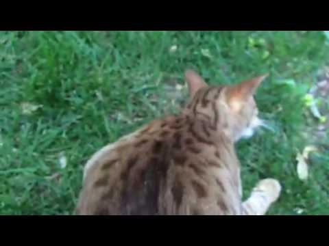 Ocicat meow like the big cats